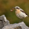 Belorit sedy - Oenanthe oenanthe - Northern Wheatear 6980