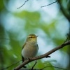 Budnicek lesni - Phylloscopus sibilatrix - Wood Warbler 1801-Edit-2