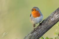 Červenka obecná - Erithacus rubecula - European Robin