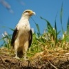 Cimango zlutavy - Milvago chimachima - Yellow-headed Caracara 7182