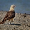 Cimango zlutavy - Milvago chimachima - Yellow-headed Caracara o0471