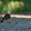 Cimango zlutavy - Milvago chimachima - Yellow-headed Caracara o5360