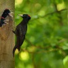 Datel cerny - Dryocopus martius - Black Woodpecker 0465