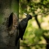 Datel cerny - Dryocopus martius - Black Woodpecker 1538-2