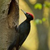 Datel cerny - Dryocopus martius - Black Woodpecker 1963