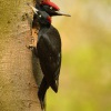 Datel cerny - Dryocopus martius - Black Woodpecker 2084