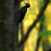 Datel cerny - Dryocopus martius - Black Woodpecker 5421