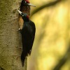 Datel cerny - Dryocopus martius - Black Woodpecker 8334