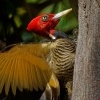 Datel svetlezoby - Campephilus guatemalensis - Pale-billed woodpecker 2895