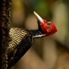 Datel svetlezoby - Campephilus guatemalensis - Pale-billed woodpecker 3049