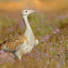 Drop velky - Otis tarda - Great Bustard 4080