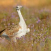 Drop velky - Otis tarda - Great Bustard 4081