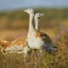 Drop velky - Otis tarda - Great Bustard 4528