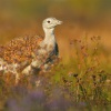 Drop velky - Otis tarda - Great Bustard 4565