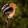 Dudek chocholaty - Upupa epops - Common Hoopoe o0298