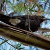 Fletnak belority - Strepera versicolor - Grey Currawong o0546