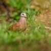 Holoubek skoricovy - Columbina talpacoti - Ruddy Ground-dove o3220