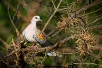 Hrdlička divoká - Streptopelia turtur - Turtle Dove