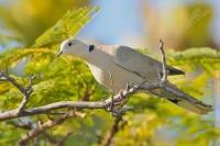Hrdlička zahradní - Streptopelia decaocto - Eurasian Collared Dove