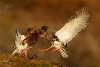 Jespak bojovny - Philomachus pugnax - Ruff 5040