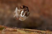 Jespak bojovny - Philomachus pugnax - Ruff 5227