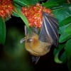 Kalon ramenaty - Cynopterus brachyotis - Lesser Short-nosed Fruit Bat o4303