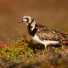 Kamenacek pestry - Arenaria interpres - Ruddy Turnstone 7090