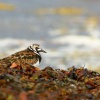 Kamenacek pestry - Arenaria interpres - Ruddy Turnstone 7252