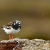 Kamenacek pestry - Arenaria interpres - Ruddy Turnstone 7719