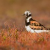 Kamenacek pestry - Arenaria interpres - Ruddy Turnstone 8375