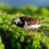 Kamenacek pestry - Arenaria interpres - Ruddy Turnstone o1002