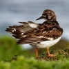 Kamenacek pestry - Arenaria interpres - Ruddy Turnstone o1473