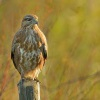 Kane lesni - Buteo buteo - Common Buzzard 1124