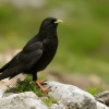 Kavce zlutozobe - Pyrrhocorax graculus - Yellow-billed Chough 7101