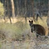 Klokan bazinny - Wallabia bicolor - Swamp Wallaby 6595
