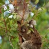 Koala - Phascolarctos cinereus o3295