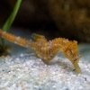 Konicek obecny - Hippocampus hippocampus - Short snouted seahorse o6956
