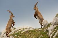 Kozorožec horský - Capra ibex - Alpine Ibex