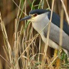 Kvakos nocni  - Nycticorax nycticorax - Black-crowned Night-Heron 2630