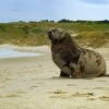 Lachtan novozelandsky - Phocarctos hookeri - New Zealand sea lion - whakahao 0208
