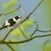 Lejsek belokrky - Ficedula albicollis - Collared Flycatcher 2706