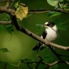 Lejsek belokrky - Ficedula albicollis - Collared Flycatcher 5906