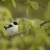 Lejsek belokrky - Ficedula albicollis - Collared Flycatcher 8839