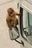 Makak magot - Macaca sylvanus - Barbary Macaqueot