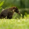 Nosal belohuby - Nasua narica - White-nosed Coati 0867