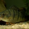 Okoun ricni - Perca fluviatilis - English Perch 4349