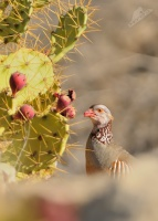 Orebice pouštní - Alectoris barbara - Barbary Partridge