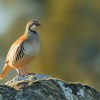 Orebice ruda - Alectoris rufa - Red-legged Partridge 2431