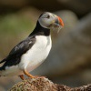 Papuchalk severni - Fratercula arctica - Atlantic Puffin 9319