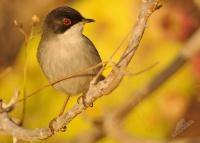Pěnice bělohrdlá - Sylvia melanocephala - Sardinian Warbler